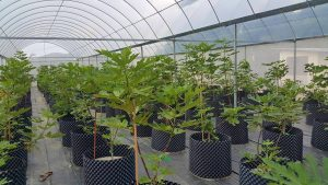 Ficus Carica tree1